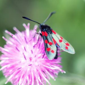 Moth Thistle